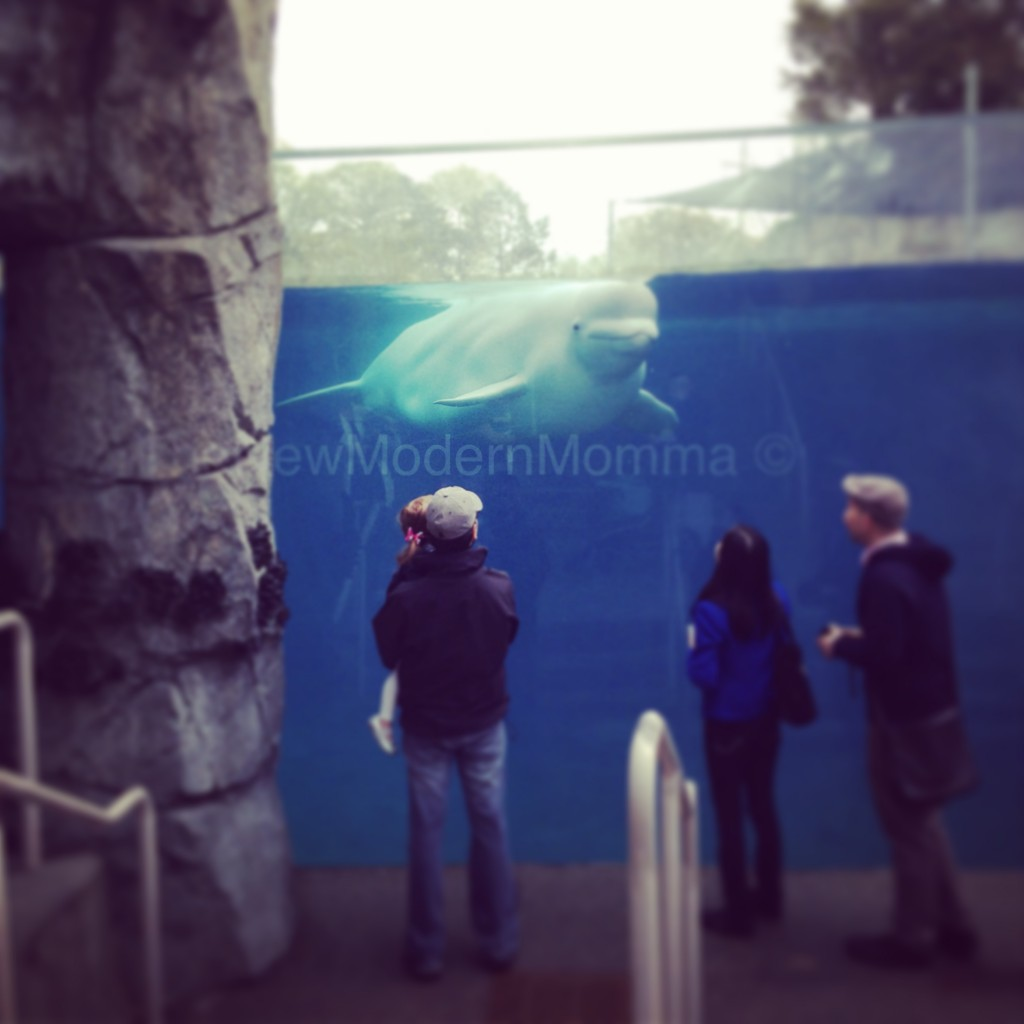 beluga whales at mystic aquarium