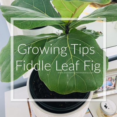 Tips for Caring for a Fiddle Leaf Fig